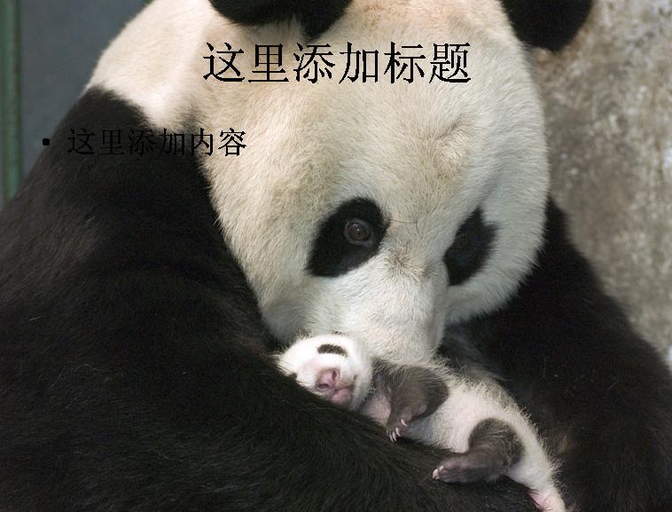 憨厚可爱大熊猫(3) 支持格式:ppt
