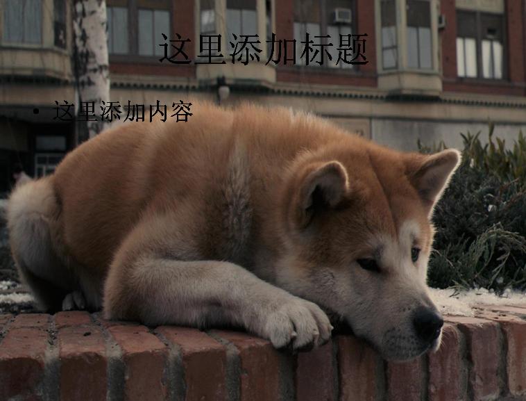 可爱的卷尾巴秋田犬(4)模板免费下载
