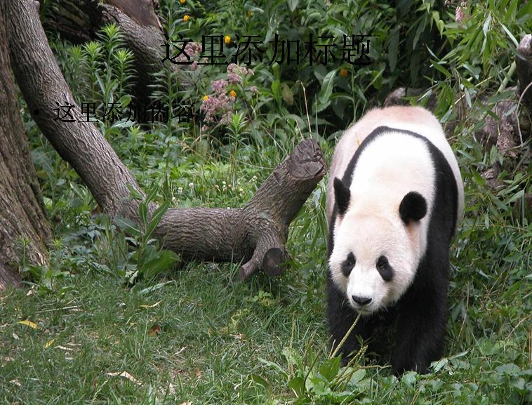 憨态可掬的国宝大熊猫(11)模板免费下载_92087- wps
