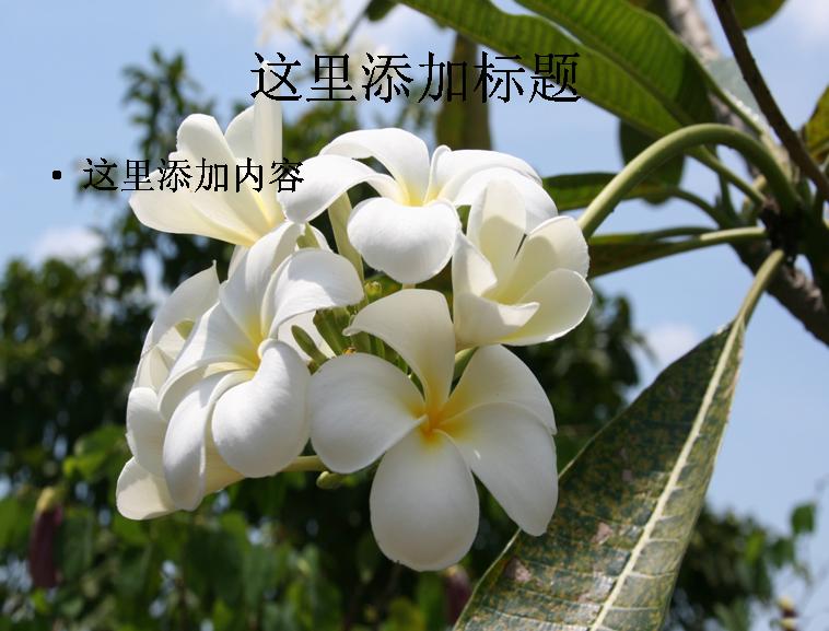 清新典雅玉兰花高清ppt(2)模板免费下载