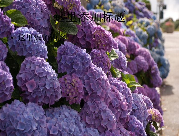 清新淡雅绣球花高清ppt(11)模板免费下载_92783- wps