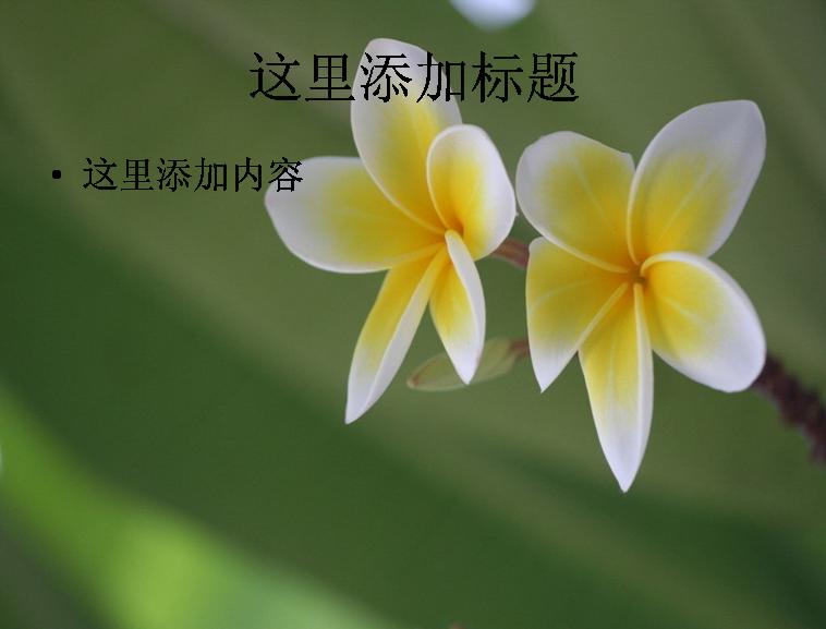 清香优雅的鸡蛋花高清ppt(12)