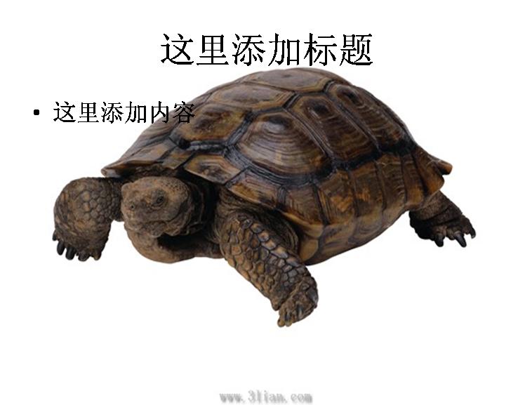乌龟动物图片模板免费下载