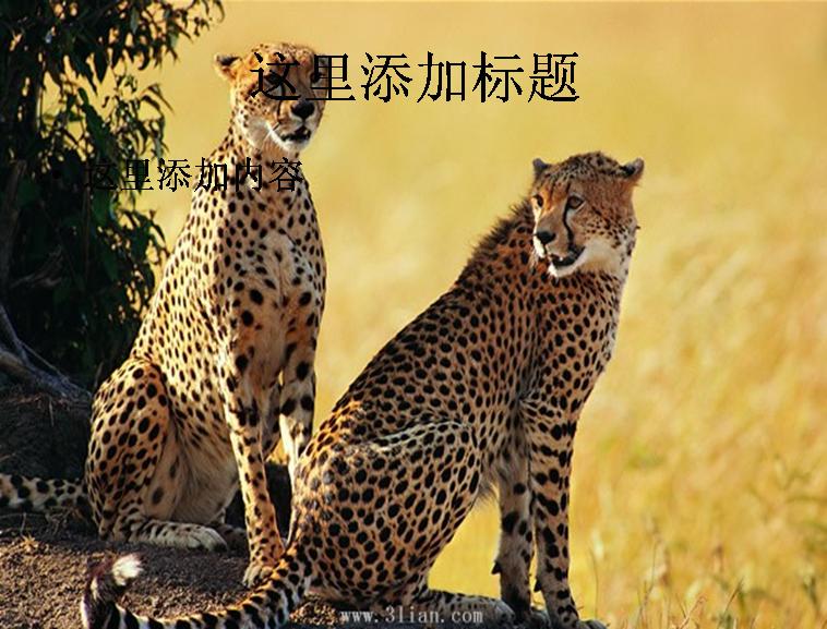 动物猎豹图片模板免费下载
