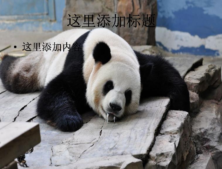 卖萌熊猫ppt(3_9)模板免费下载