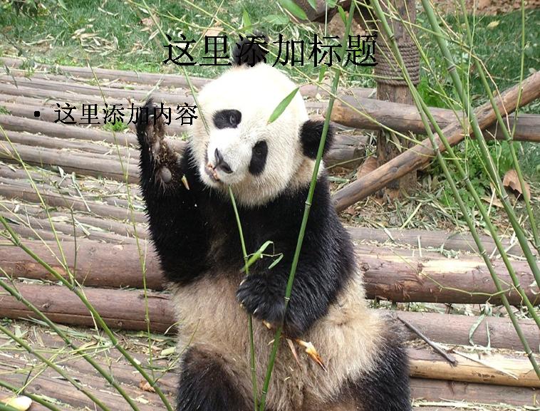 卖萌熊猫ppt(9_9)模板免费下载