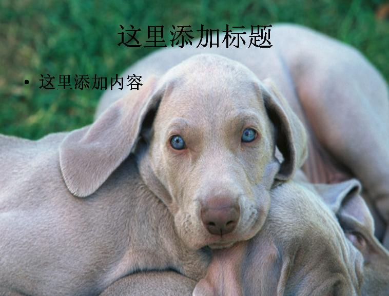 可爱的宠物狗高清图片ppt