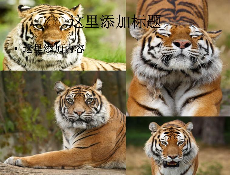 可爱的老虎高清图片