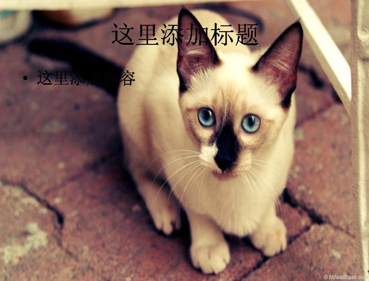 暹罗猫ppt(1_9)模板免费下载_101468- wps在线模板