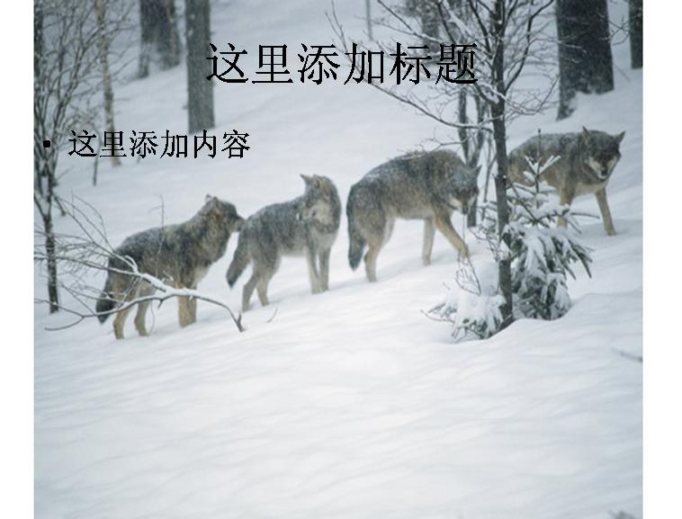 狼群图片ppt模板免费下载