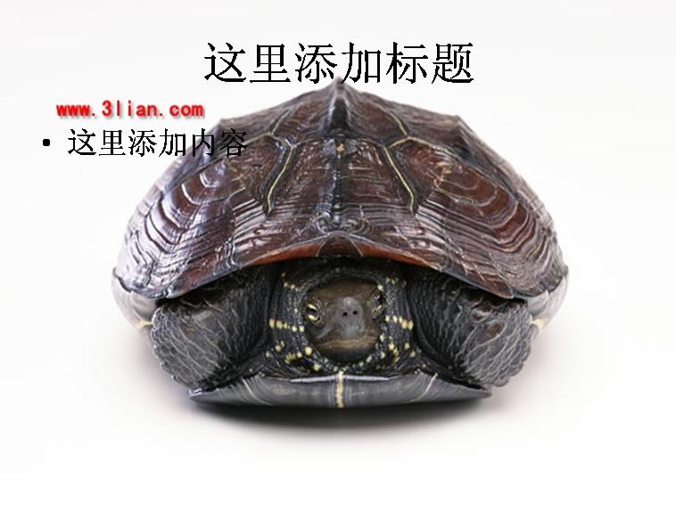 缩头乌龟图片模板免费下载