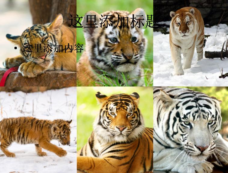 老虎高清图片ppt动物素材
