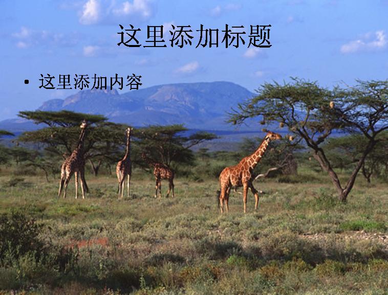 长颈鹿原始森林大草原图片 标  签: 动物小狗猫咪 支持格式: ppt wpp