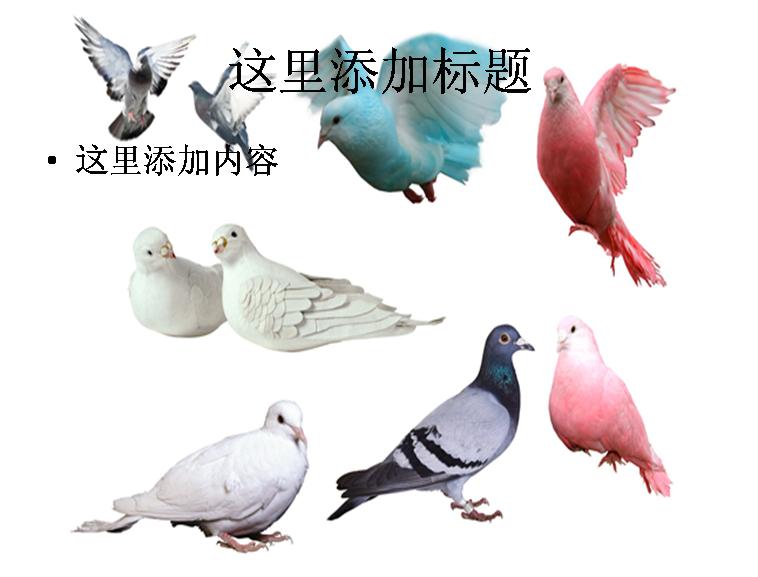 动物 鸽 鸽子 鸟 鸟类 758_577
