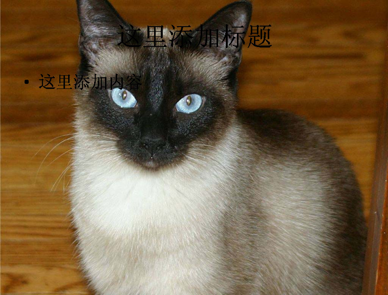 暹罗猫可爱萌态高清ppt(11)模板免费下载