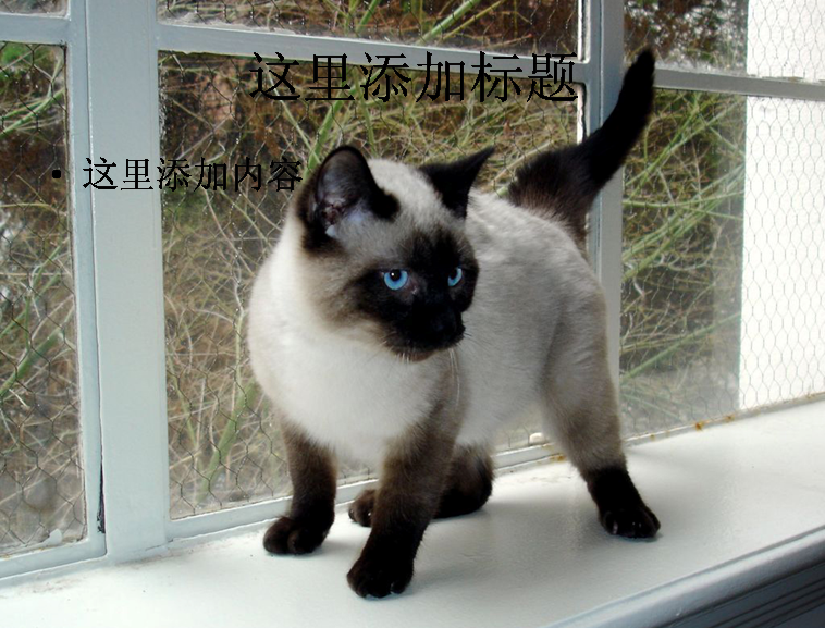 暹罗猫可爱萌态高清ppt(4)模板免费下载