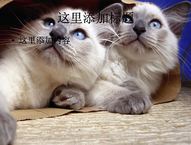暹罗猫可爱萌态高清ppt(5)模板免费下载