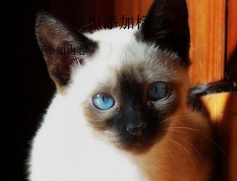 暹罗猫可爱萌态高清ppt(9)模板免费下载