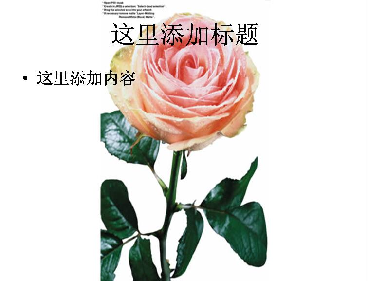 一支玫瑰花图片ppt