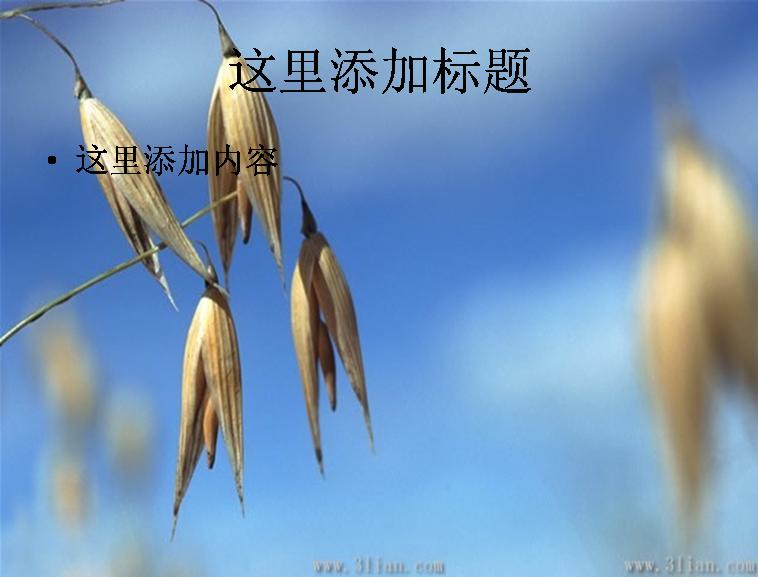 小麦,麦子图片ppt模板免费下载_114075- wps在线模板