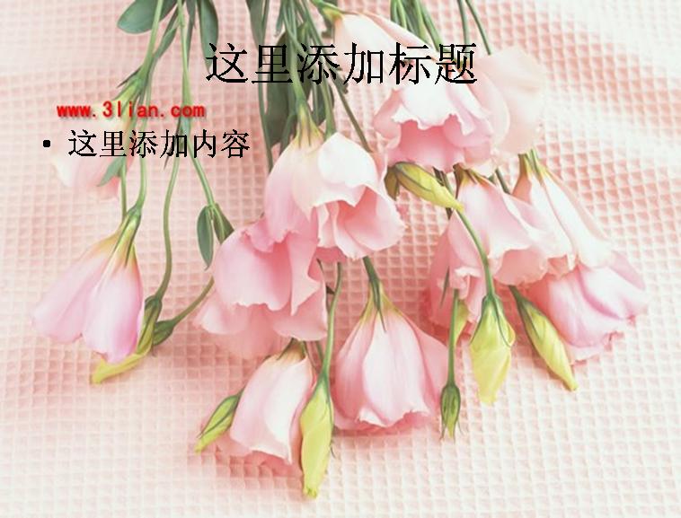 康乃馨花蕾图片ppt 模板免费下载_ 114133 - wps在线