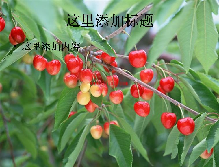 樱桃,樱桃树图片ppt模板免费下载_114803- wps在线模板