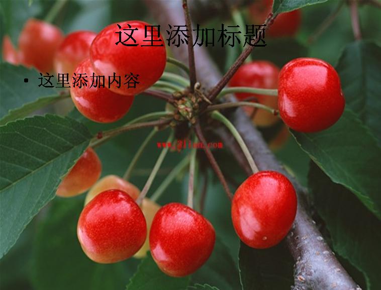 樱桃樱桃树图片ppt模板