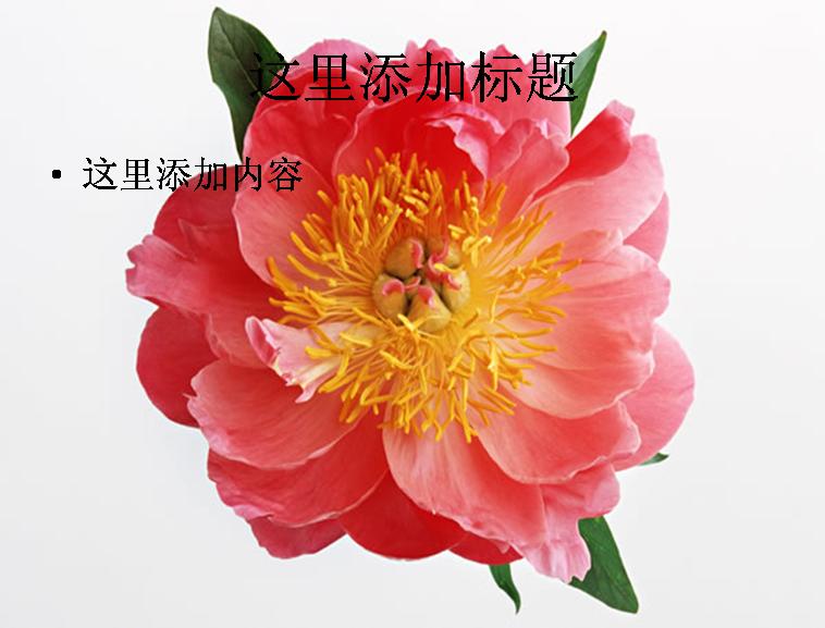 海棠花图片ppt模板免费下载_114919- wps在线模板