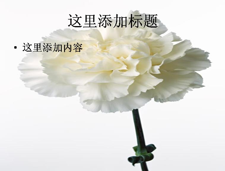 白色康乃馨图片ppt模板免费下载_115196- wps在线模板