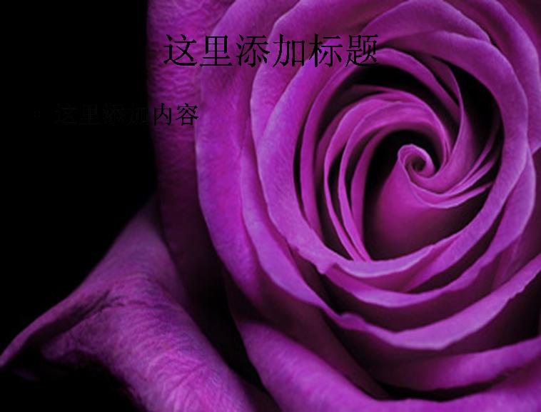 紫色玫瑰花特写图片ppt素材花卉图片ppt模板免费下载