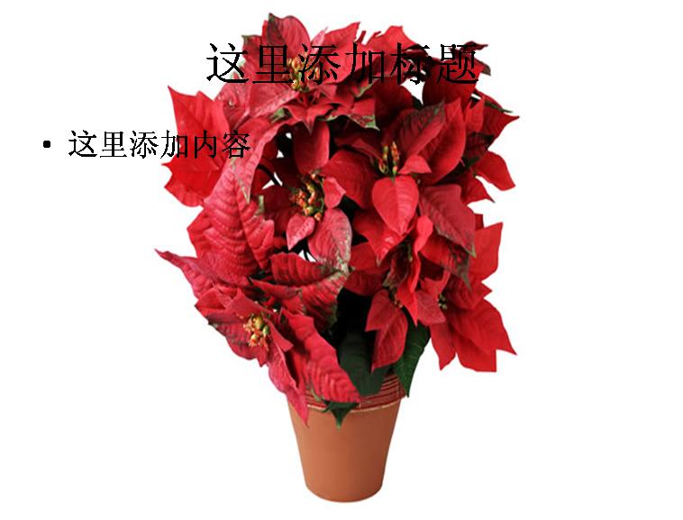 国庆晚会模板:红色盆栽植物图片ppt模板