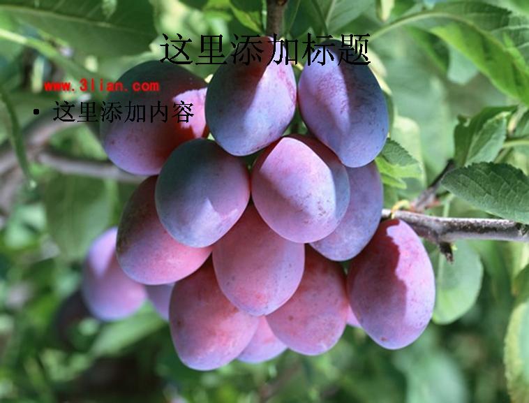西梅果树图片ppt 模板免费下载_ 141680 - wps在线模板