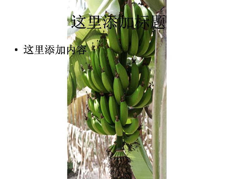 香蕉果树高清图片ppt模板免费下载