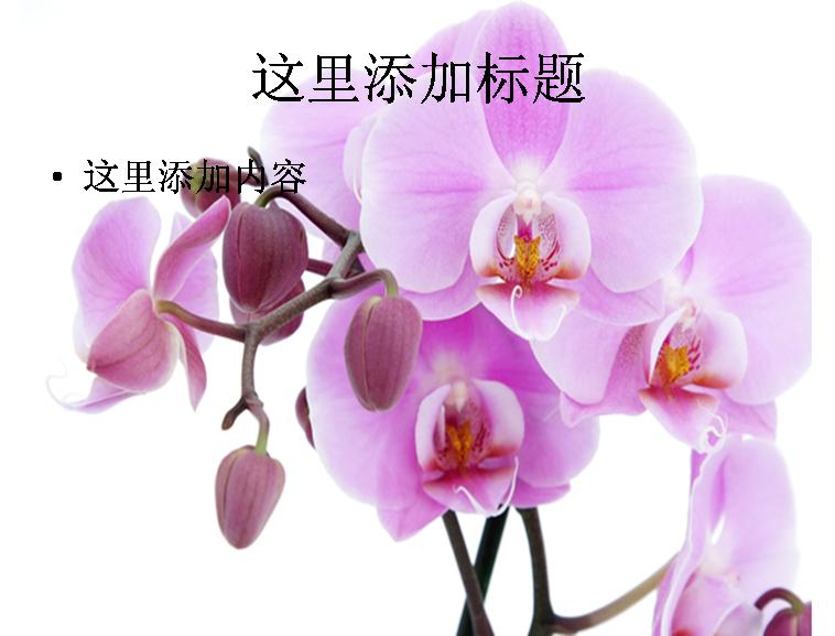 高清蝴蝶兰图片ppt模板免费下载
