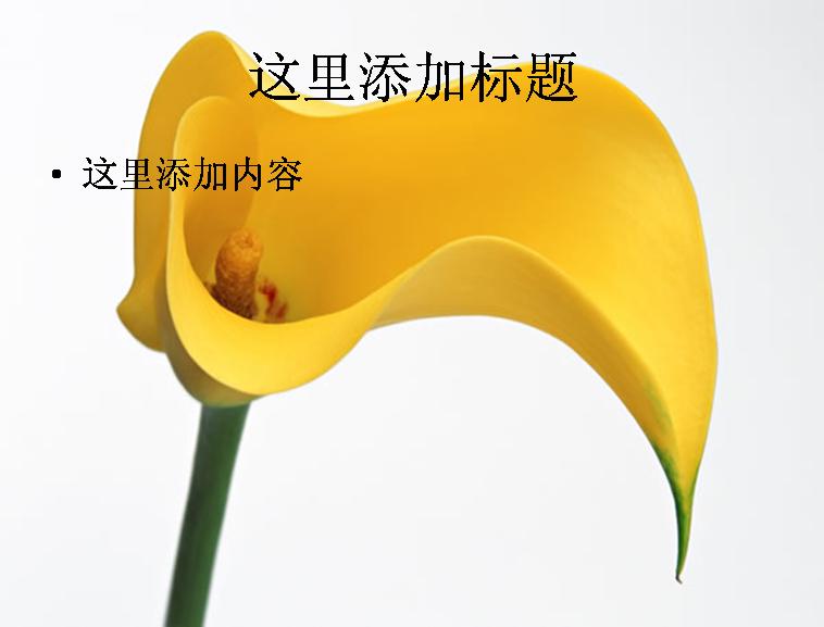 黄色马蹄莲图片ppt模板免费下载_141255- wps在线模板